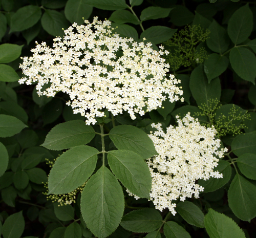 Elderflower cordial recipe- jonsbushcraft.com
